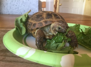 Boris, our Russian Tortoise.